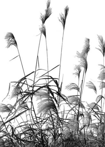 Камыш картинки черно-белые